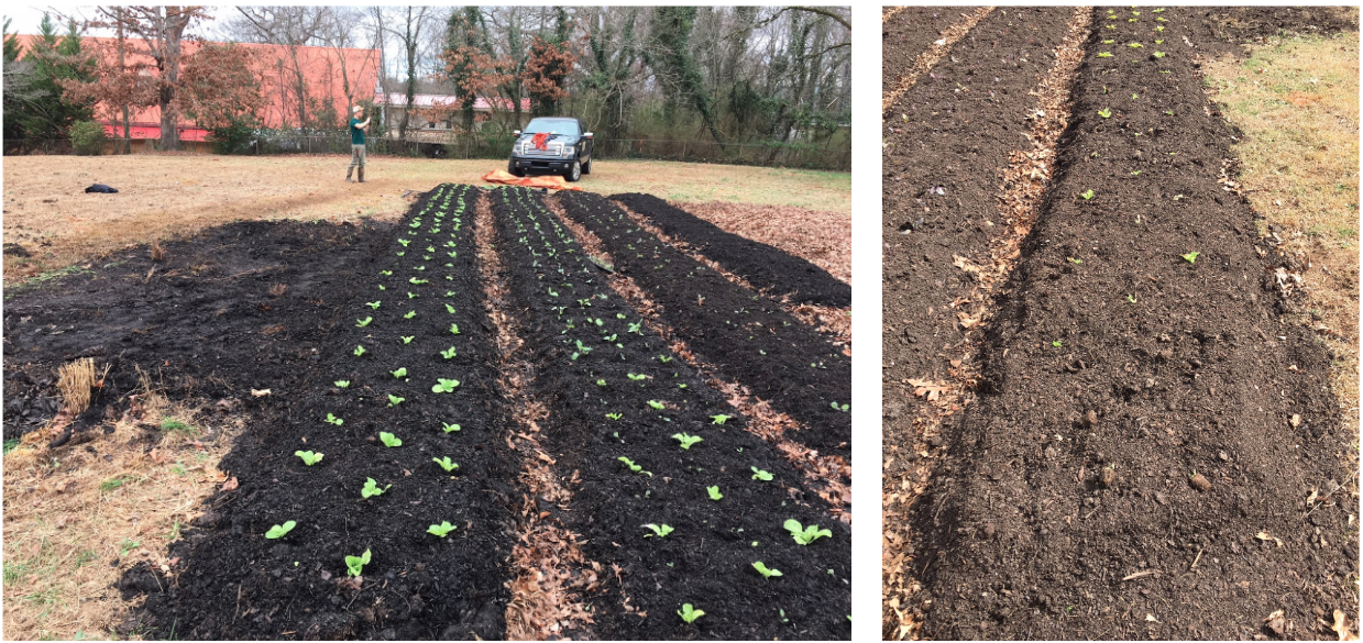 Let: First few rows planted with Napa cabbges, kohlrabi, and kale. Right: A few days later, this shows the same rows after the groundhogs had discovered their new salad bar.