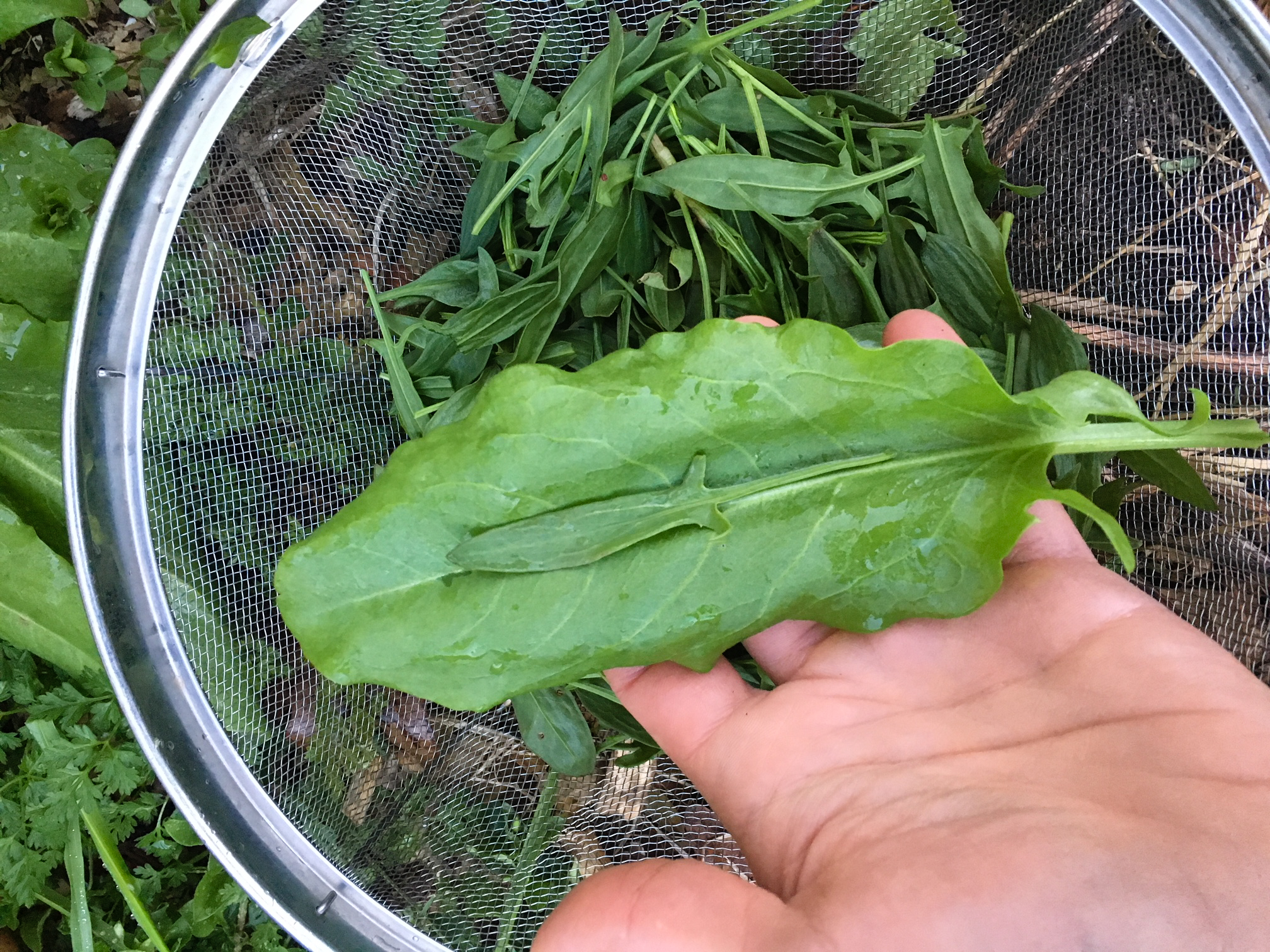A colander with wild sheep's sorrel and a domesticated garden sorrel in-hand. Look closely at the small sheep sorrel leaf on top of the garden sorrel leaf and you can see the size difference between the two varieties.