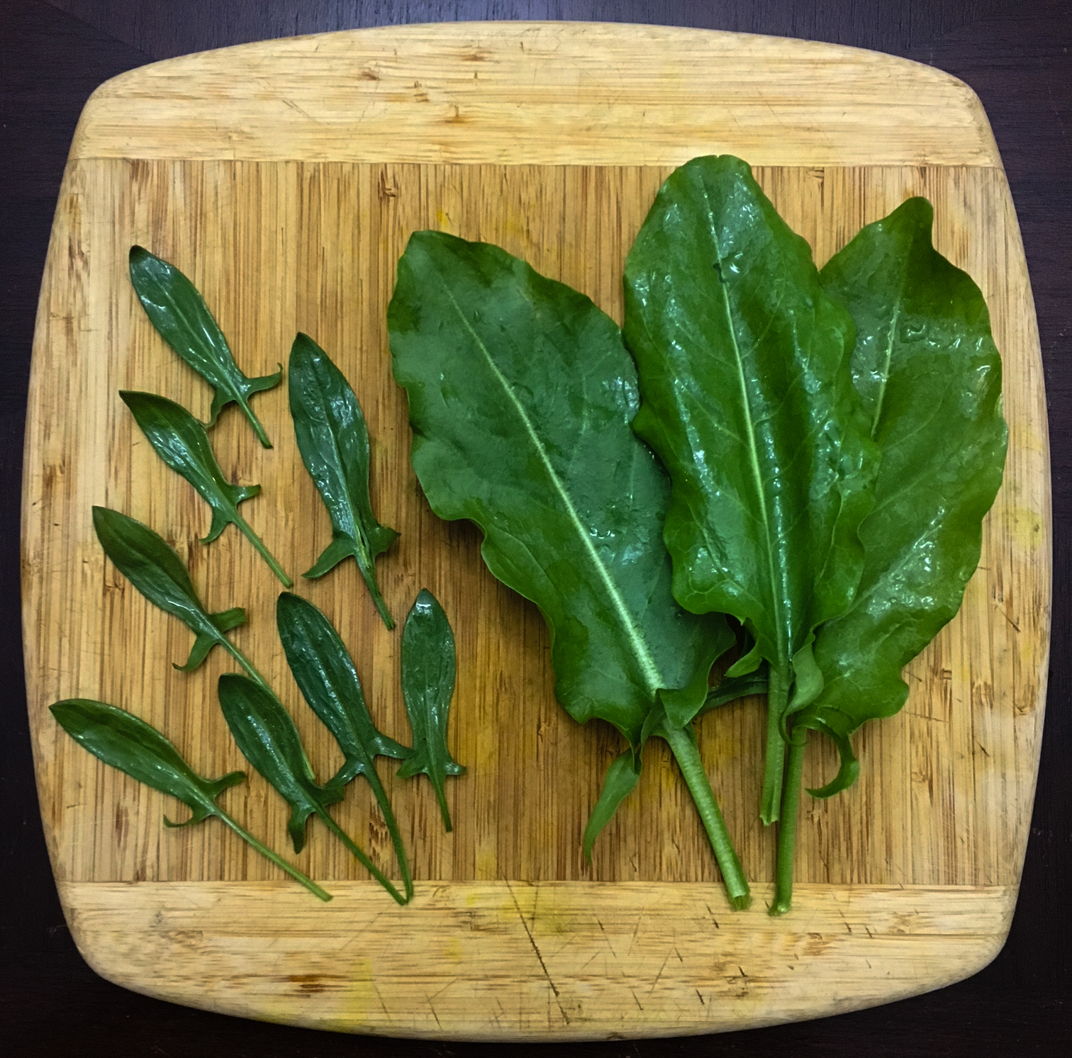 Sheep's sorrel (left) and garden sorrel (right) on cutting board. The leaves have the same shape, only garden sorrel has been bred to be much larger.