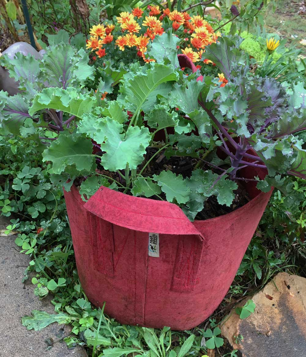 A pretty red root pouch full of kale in our front yard edible landscape. We'd actually recommend you get a black or grey color for reasons we'll explain down below where you can see this same root pouch a little later in the season.