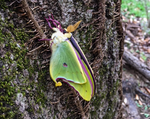 The woods are full of so much beauty in early spring during morel season. This luna moth had likely just emerged and is soon to flutter off in search of a mate.