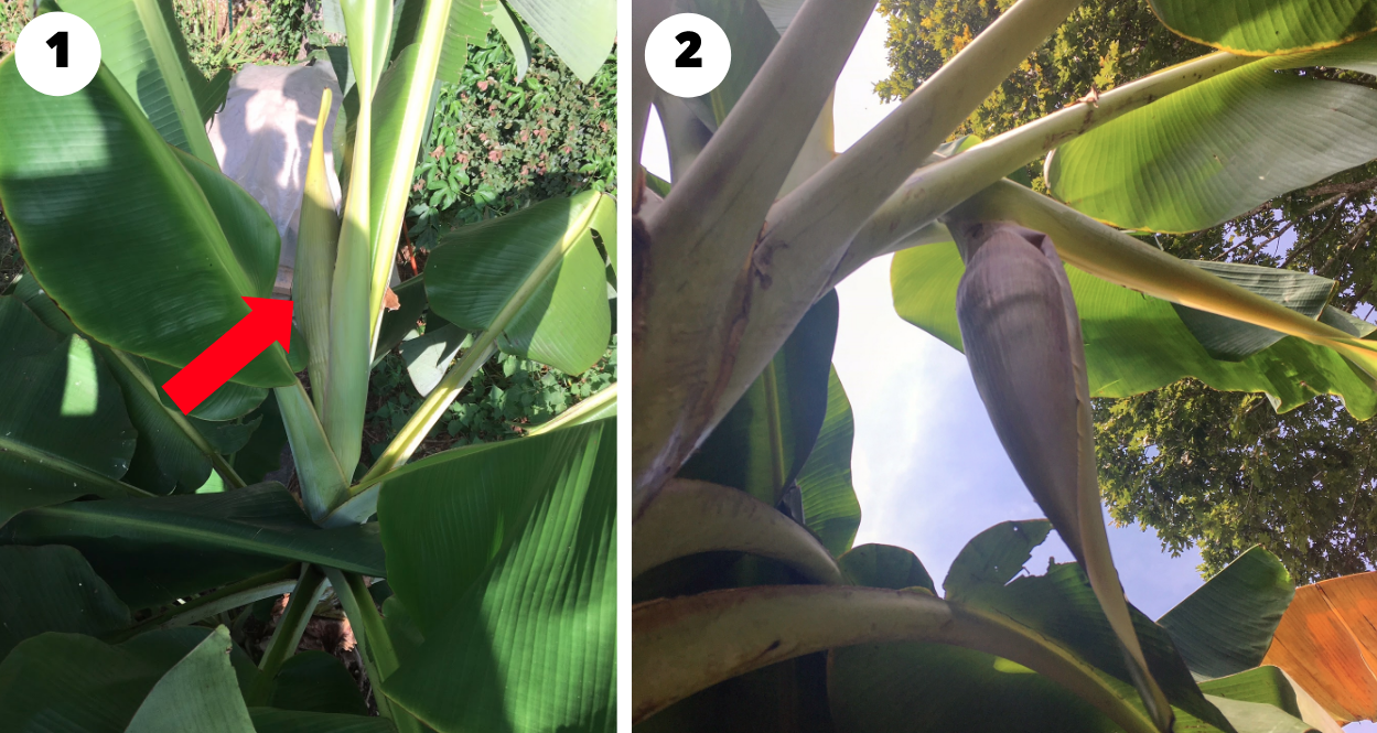 Image 1: Woohoo! August 24, the day The Tyrant noticed the inflorescence emerging from the center of one of our banana plants. As you can see, this part of the plant looks much different than the cigar leaves. Image 2: This photo was taken about 36 hours later, in the afternoon of Aug 25, so you can see how quickly the inflorescence develops.