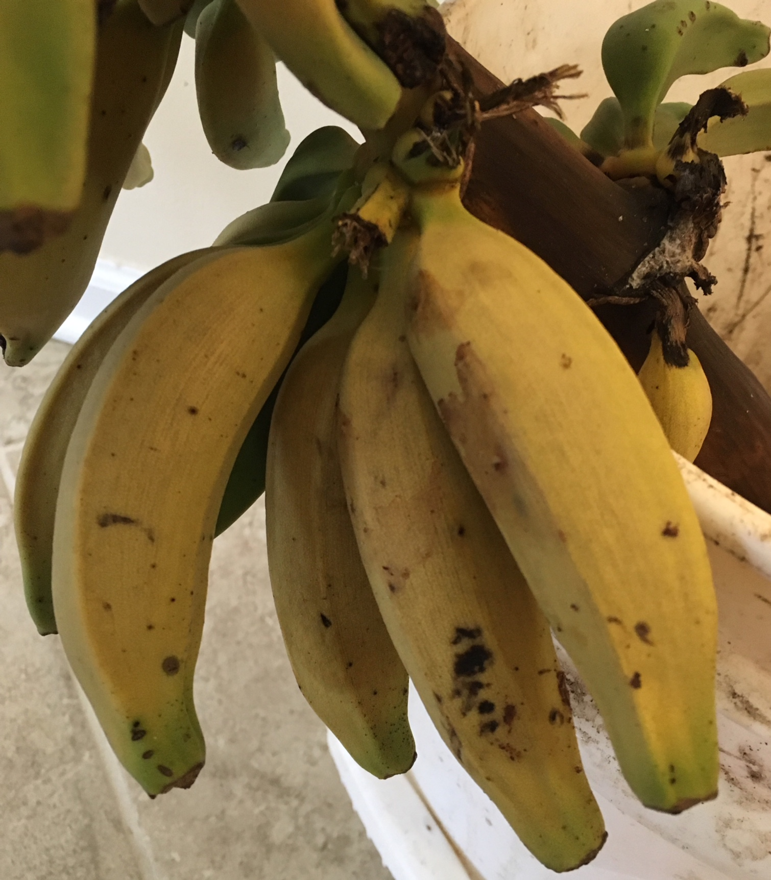 Organic bananas ripening on the stalk in a bucket of water.