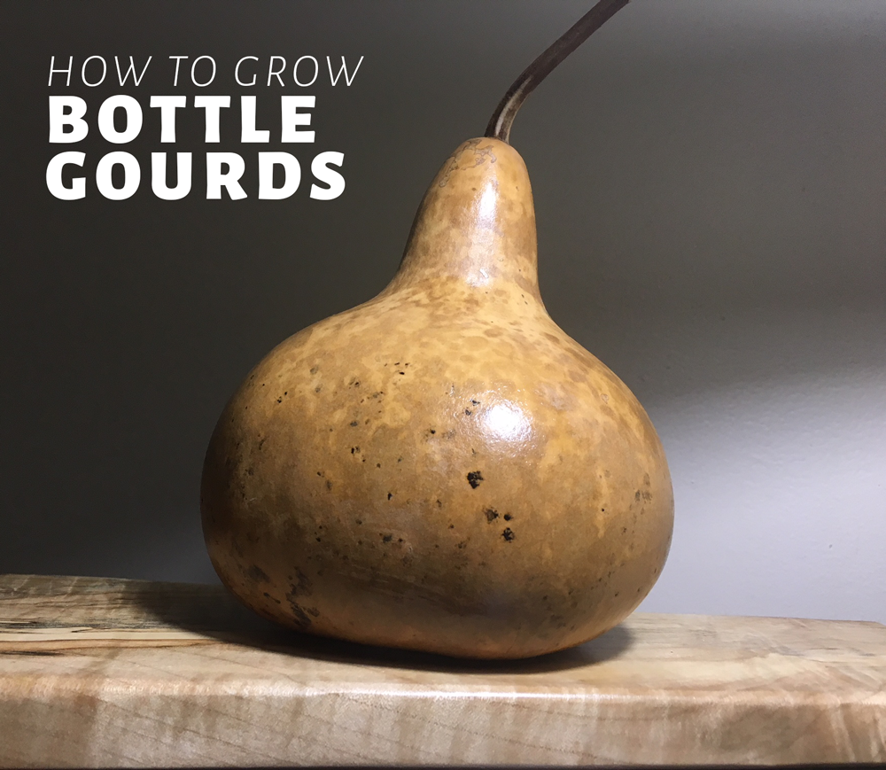 How to grow bottle gourds organically.