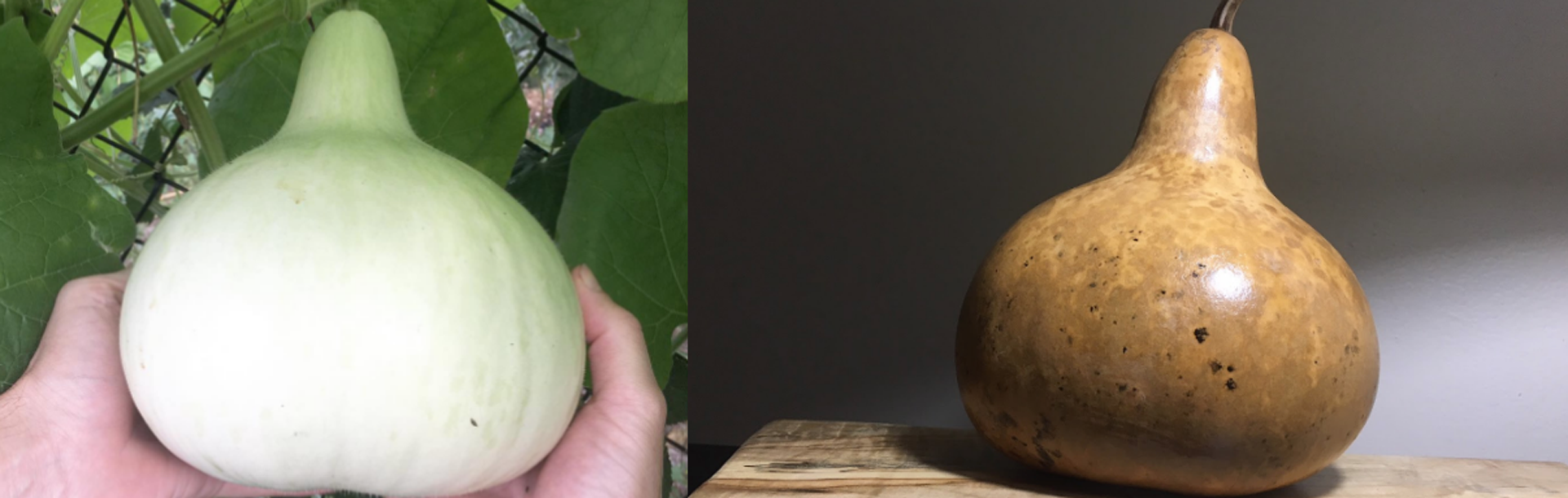 How to grow organic bottle gourds thumbnail