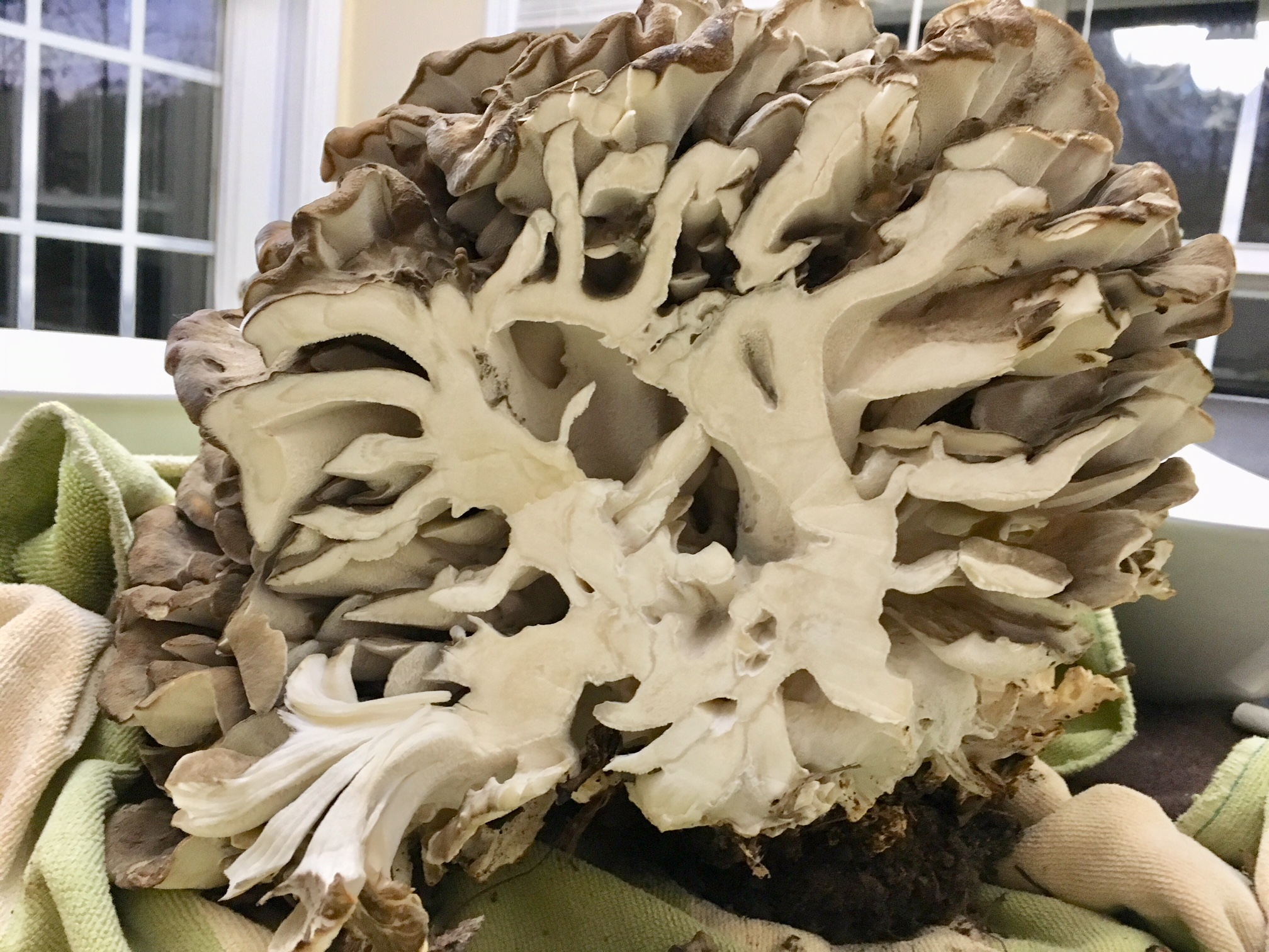 A cross section view of a maitake mushrooms. You can see where the base attached to an underground root and the branching structure that formed as the mushroom grew.